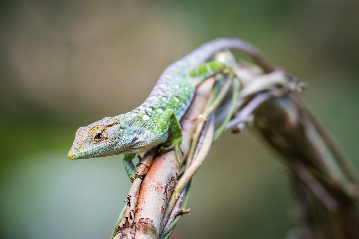 The Lizard (Trinidad and Tobago)
