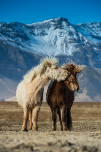 The horses (Iceland)