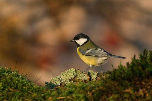 sýkora koňadra (Parus major) Great tit