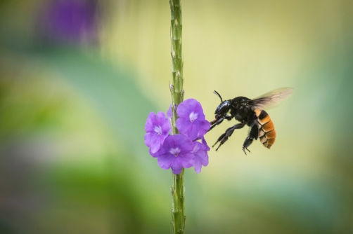 Bumble bee on a purple bloom in Trinidad and...