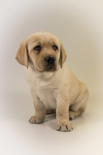 The Labrador Retriever - puppy